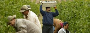 workers-in-Nappa-Valley-California-harvesting-Pinot-Noir-10002104